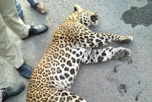 Poachers account for 53 of 131 leopard deaths across India in 2017