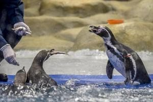 After a positive report from microbiologists who tested the condition of the enclosure, especially the water, the penguins were moved from their 250-square-foot quarantine area to their 1,550-square-foot permanent home on March 6.