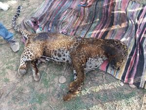The spotted big cat was chased and burned to death by the villagers near Sariska Tiger Reserve, notwithstanding the fact that the forest officials have already tranquilised it with darts.