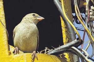 Modern living spaces have left no place for sparrows to build their nests.