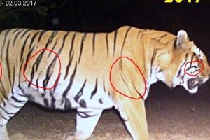 Four years on, missing male tiger of Tadoba reserve spotted