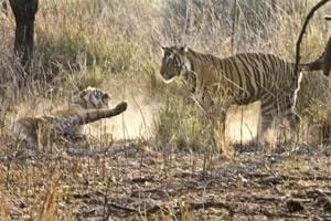 Most fights in Ranthambore National Park have been among young adults baying to dominate the richest prey base.