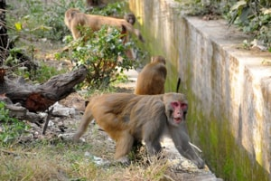 Monkeys again declared vermin in Shimla