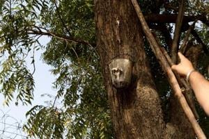 Free 'beer' from neem tree in North Campus keeping Delhi Univ's spirits high