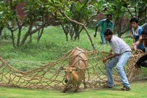 MP govt spends Rs 1.5 lakh to capture, relocate one Nilgai