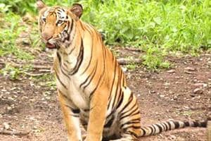 There's hardly any mechanism to monitor tigers that have strayed out of their designated habitat.