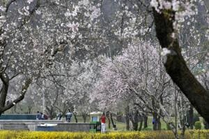 Bright and beautiful: Kashmir blooms with Almond blossom