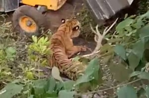 Tiger crushed to death by earthmover used by forest officials to trap...