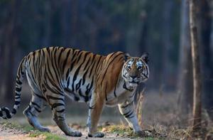 Fence in Valmiki tiger reserve to prevent wildlife deaths in train...