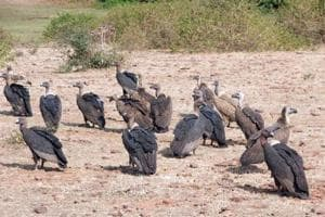 20 vultures die after feeding on drug-contaminated cattle carcasses in...