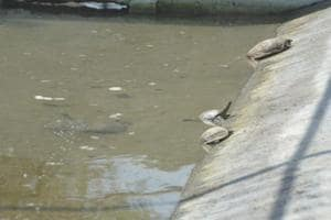 Digest this: Non-veg turtles to help in Ganga cleaning!