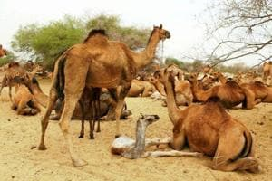 Smuggling, lack of profit in breeding behind dip in camel population