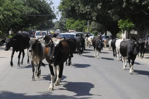 n 2016, only 437 people were arrested for cow smuggling.