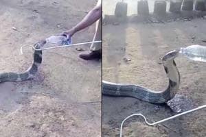 A thrilling video has emerged showing a king cobra drinking water from...