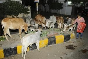 No vigilantes, these volunteers care for cows in their own way