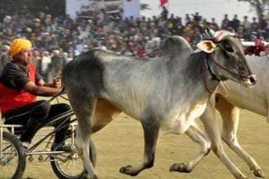Maharashtra govt to study draft bill to lift ban on bullock-cart...