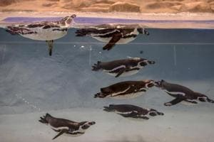 The penguins, Bubble, Mr Molt, Flipper, Donald, Daisy, Popeye and Olive, swim in their new home at Byculla zoo. They are all between the ages of 2 and 3 and were named after famous Disney characters, based on their behaviour.
