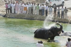 Elephant frolics in water pool at the elephant village.
