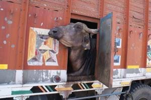 Three men transporting buffaloes beaten up in Delhi by 'animal rights...