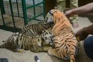 Two tiger cubs reared with help of 'dummy toy tigress mother' die at...