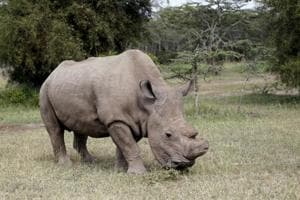 World's last male rhino joins Tinder dating app