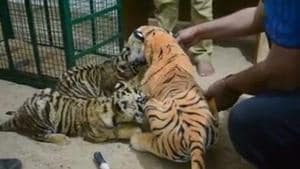 Third tiger cub reared with help of 'dummy toy tigress' dies at...