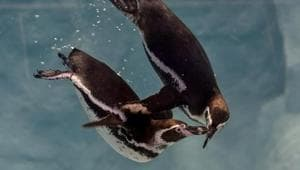 The move came in after the new entrants Humboldt Penguins drew large crowds.