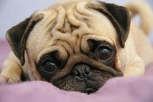 High-profit industry: Inbreeding of pugs, labradors skyrockets as...