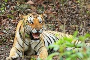 Tiger Jai's son Srinivas found electrocuted in Maharashtra, forest...