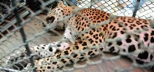 A day after big cat terror in Gurgaon village, leopard released into...