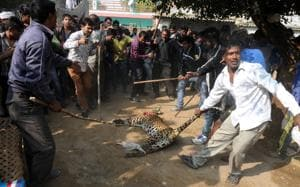 Gurgaon: Four leopards rescued successfully in last five months