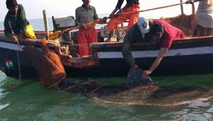 Officials from the Wildlife Trust of India tagging the 18-foot shark.