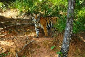 The number of tigers at the Ranthambore reserve rose to 60 in 2016, despite poaching activities.