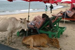 Tourists relaxing next to cows on Anjuna Beach in Goa.