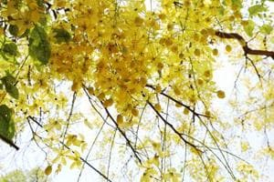 Discover Delhi: Summer may be back, but so is the Amaltas on Hailey Road