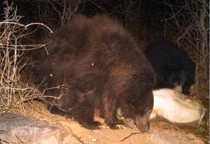 Brown sloth bear sighted in Kailadevi forest area.