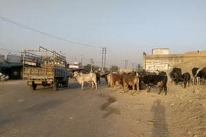 Stray cattle roaming outside the mini-secretariat on the Ludhiana-Ferozepur highway in Moga.
