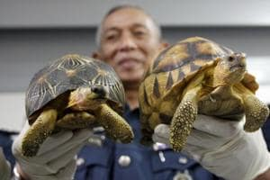 Deputy customs director Abdul Wahid Sulong shows off seized Ploughshare, right, and Indian Star, left, tortoise after a press conference at Customs office in Sepang Malaysia on Monday.