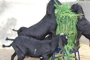 Goats wait for bail