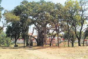 An ancient banyan tree in Jhabua, Madhya Pradesh.