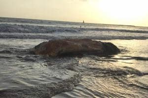 40-ft whale washes ashore in two parts at Juhu and Madh in Mumbai