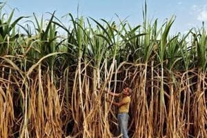 Sugar prices may rise as Cabinet hikes cane purchase price by 10.6%