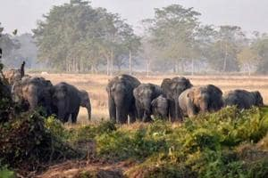 The scarcity of selected food for elephants like bamboo, kajhi and khair in Jharkhand's forests have forced the pachyderms to enter villages, causing man-elephant conflict and crop damage, officials said.