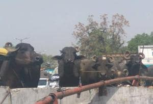 Two buffaloes killed as truck topples near Delhi's Hauz Khas metro...