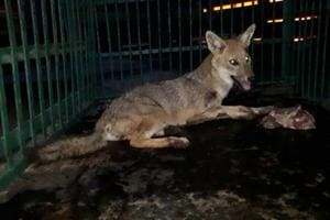 Golden Jackal rescued in Mumbai, sent to Sanjay Gandhi National Park...