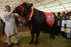 Meet Yuvraj and Sultan, Rajasthan's super bulls whose semen is worth...
