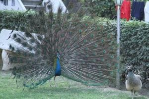 Four peacocks die of heat stroke in a week