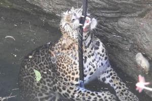 Pregnant leopard rescued from 40-ft-deep well in village in...
