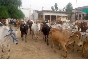 Groups running cow shelters hail new rules on sale of cattle for...
