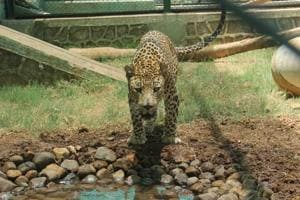 Forest officials want to trap leopard after third attack in Mumbai
